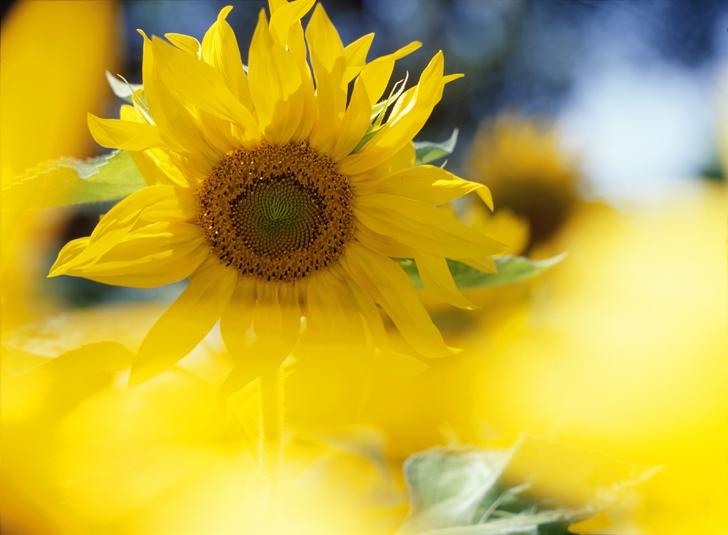 00508-r-sonnenblume